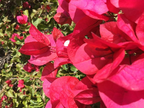 bougainvillea closeup