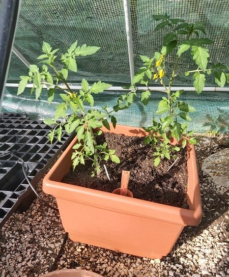 cherry tomatoes growing in a pot