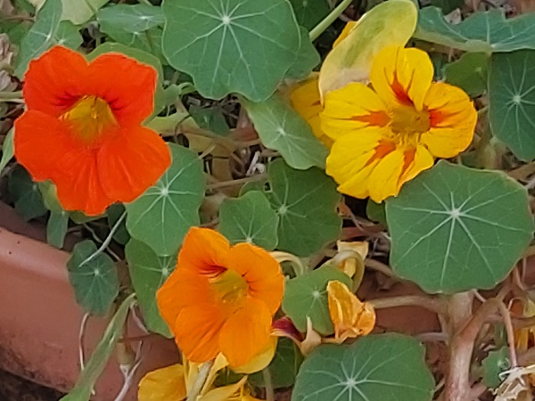 Nasturtiums growing in a pot