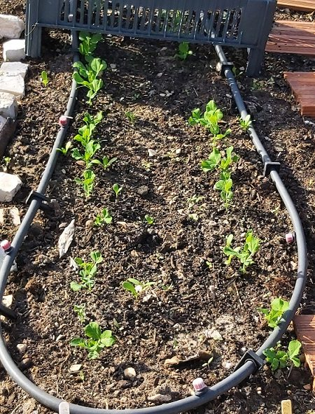 Pea seedlings 13-3-20