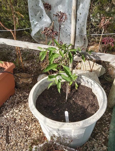 rosa tomato growing in a pot