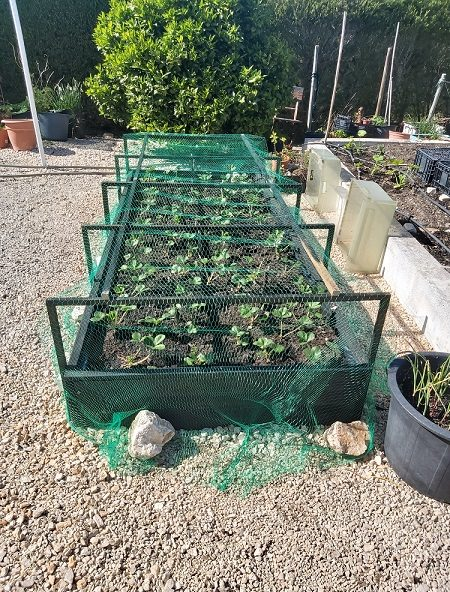 Raised strawberry bed with bird netting