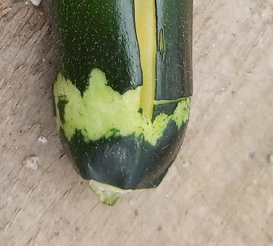 Courgette eaten by mice or mongoose