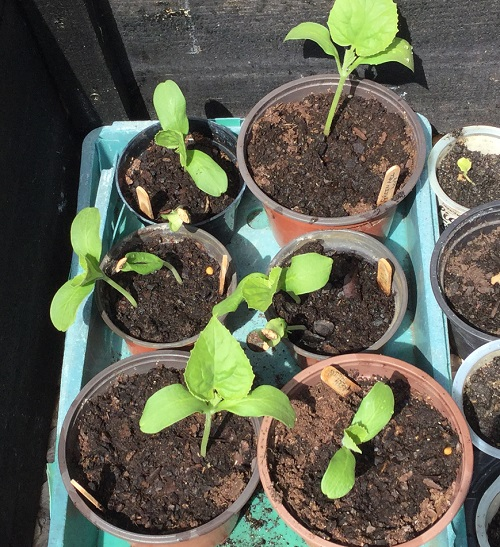 green melon seedlings-24-04-20