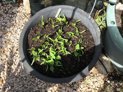 Matador Spinach seedlings-24-04