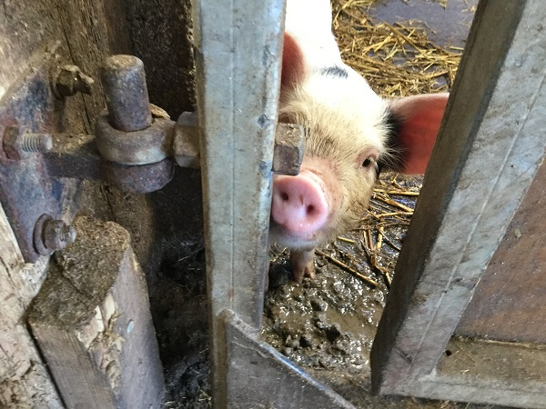 Piglet at Roves Farm, Wiltshire
