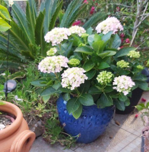 Hydrangea growing in a pot