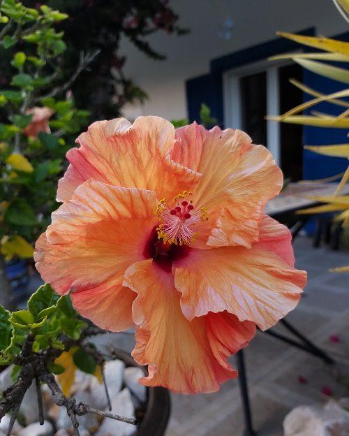 Orange Hibiscous