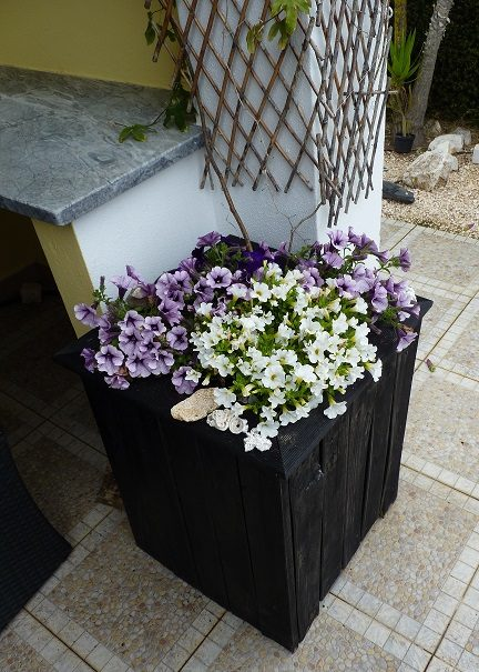 newly planted triling petunias