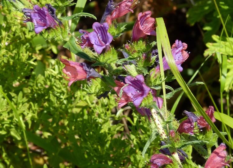 Echium angustifolium - Narrow-leaved Bugloss