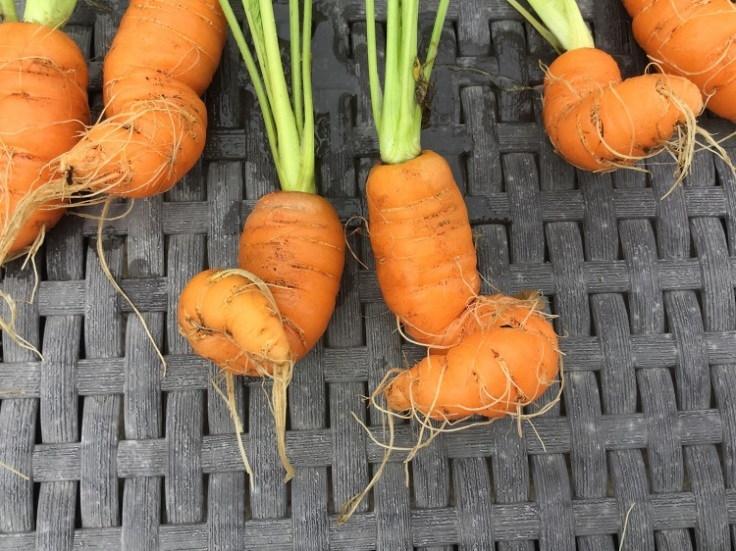 curly carrots