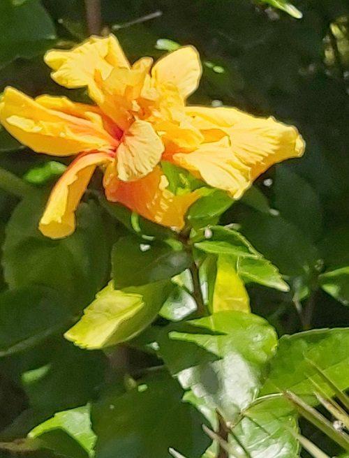 hibiscus flower - double