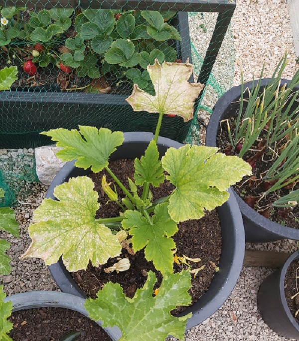 Brown Mottled Courgette Leaves