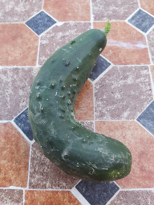 Curly cucumber