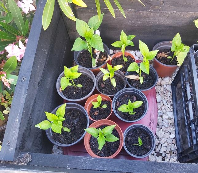 California Wonder red pepper seedlings