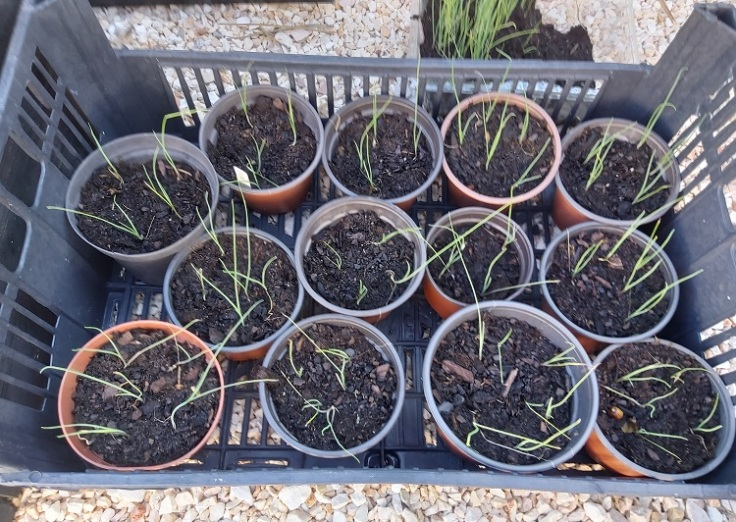 wilko elephant leek seedlings