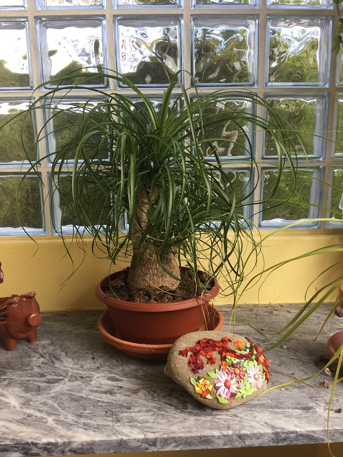 Beaucarnea Recurvata (The Elephant's Foot or Ponytail Palm)