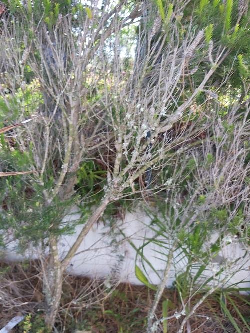 lichen on melaleuca
