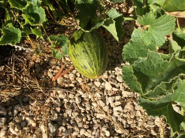 melon-growing-in-pots