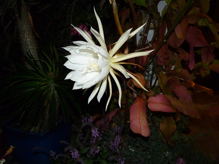 Epiphyllum Oxypetalum (Queen Of The Night)