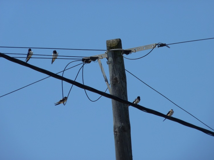 Birds sitting on telephone wires tap into 'Twitter'