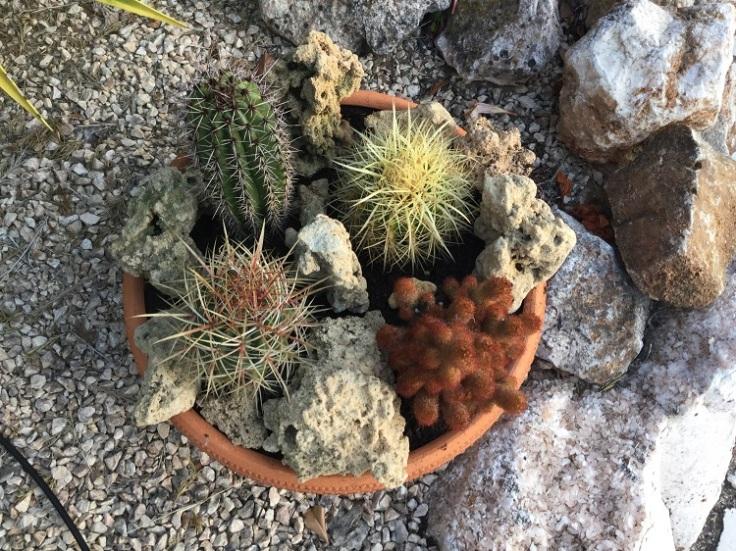 cacti container garden