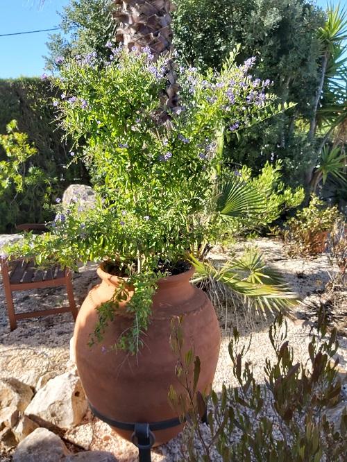 Mystery Mauve Plant