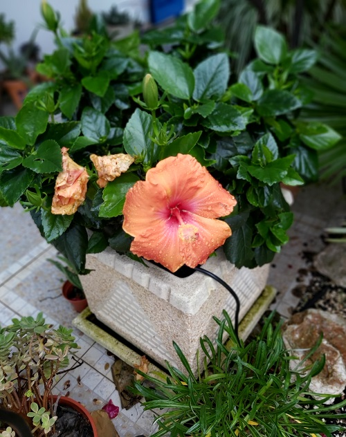 Peach Hibiscus December 2020