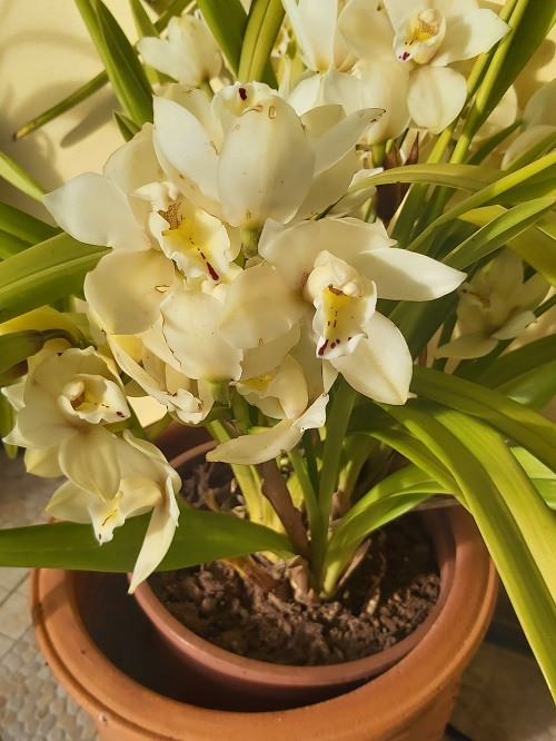 Yellow Cymbidium Orchid