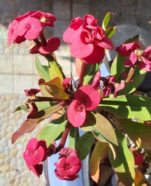 Red Euphorbia Milii - Crown of Thorns in January