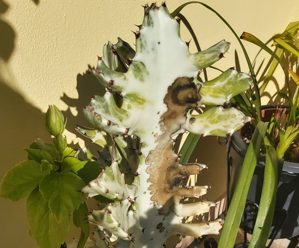 Euphorbia Lactea - ghost Euprhorbia with black/  brown marks on.