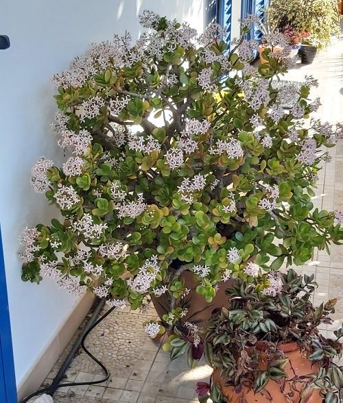 Crassula ovata - Jade Plant flowers in January