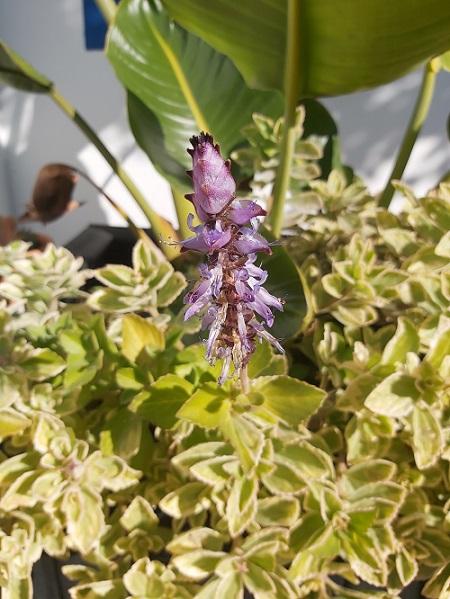Meerlo Lavender flowers in January