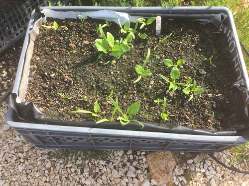 Spinach - Winter Giant seedling