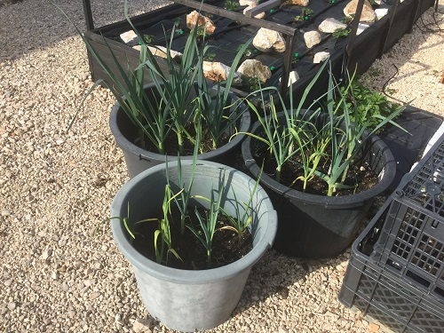 Leeks and garlic growing in a pot