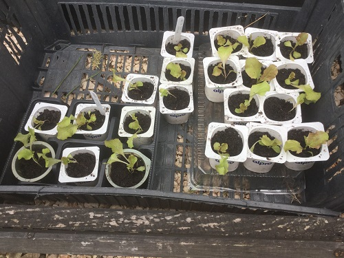 Lollo Rosso Seedlings - Feb