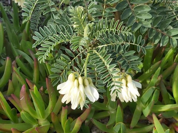erophaca baetica boiss, milk vetch , alfavaca-dos-montes