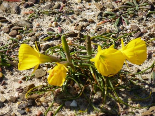 Narcissus bulbocodium L, Campainhas-do-monte, Cuckos or Hoop Petticoat Daffodil