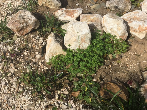 Oxalis pes-caprae – Bermuda Buttercup - invasive weed