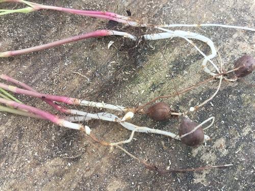 Oxalis pes-caprae – Bermuda Buttercup - roots