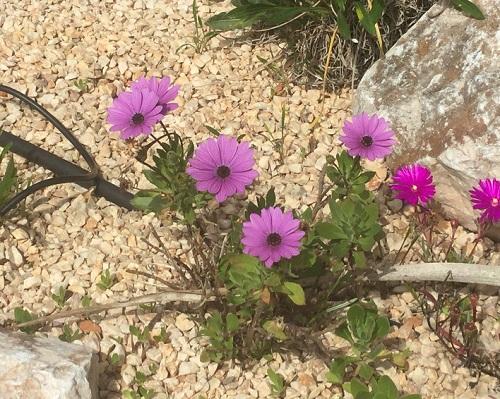 Osteospermum in March