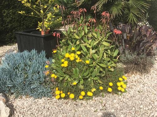 Ice plant -Delosperma-yellow