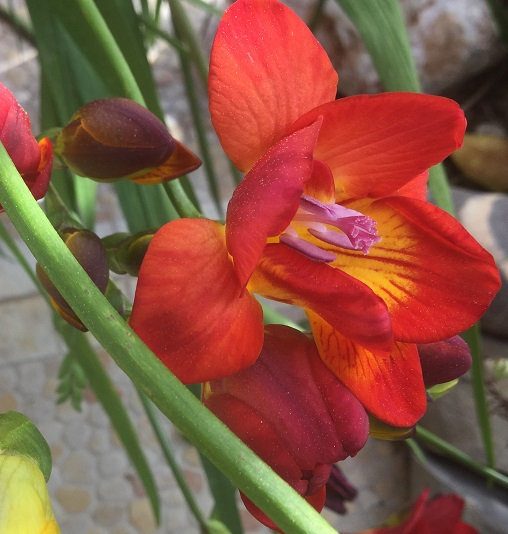 Freesia growing in pot