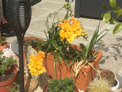 Freesias in March grow well in pots