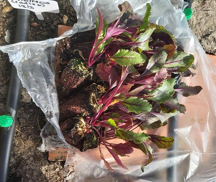 Beetroot seed plugs