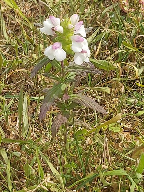 Bartsia Trixago (Bellardia) or flor-de-ouro