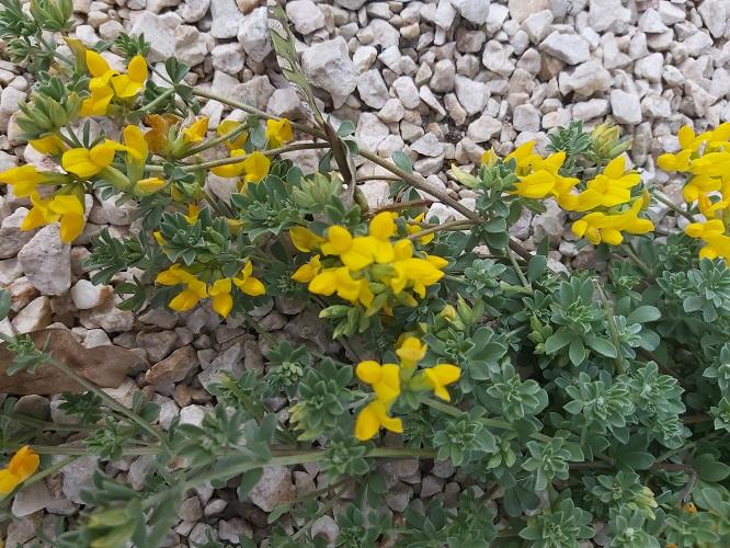 Lotus Creticus (Southern Bird's Foot Trefoil, Trevo-de-Creta, Lotus creticus L