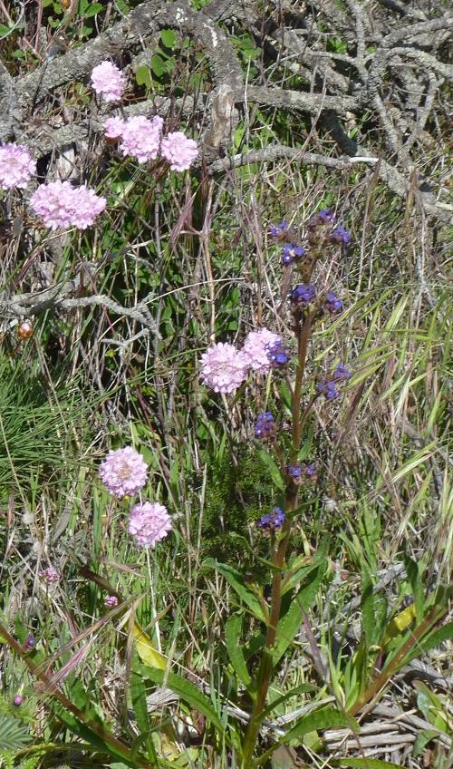Wildflowers: Armeria Pungen, Cravo-das-Areias (Thrift)