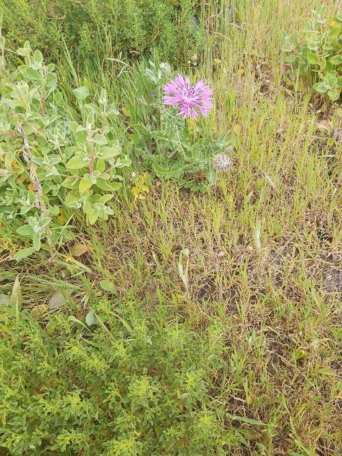 centaurea sphaerocephala