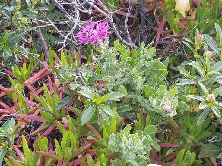 Centaurea Sphaerocephala (Knapweed) in Parque Natural do Sudoeste Alentejano e Costa Vicentina, Portugal